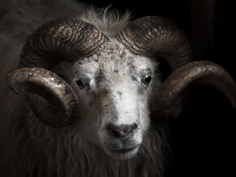 "Ipiutaq guest farm, ""Aqqu"", our oldest ram"