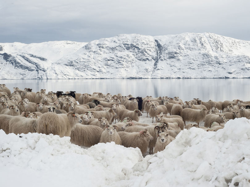 Ipiutaq guest farm, a flock of Greenlandic sheep