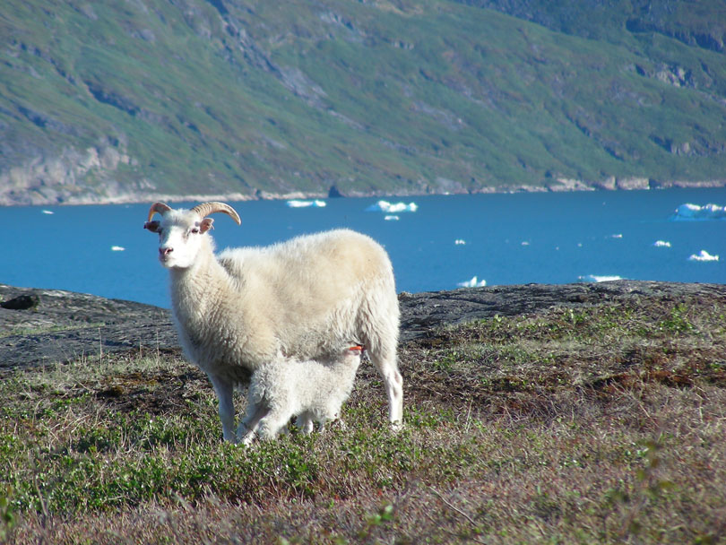 Ipiutaq guest farm, sheep farming and agro-tourism