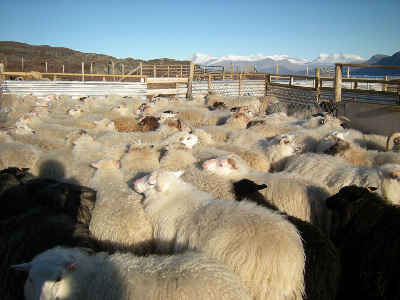 Ipiutaq guest farm, lambs back after summertime in the mountains