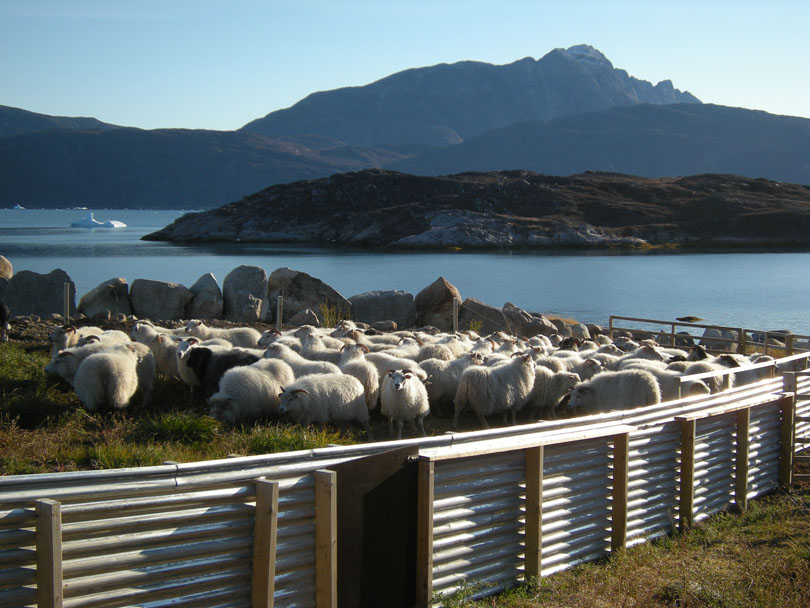 Ipiutaq guest farm, sorting place for sheep and lambs